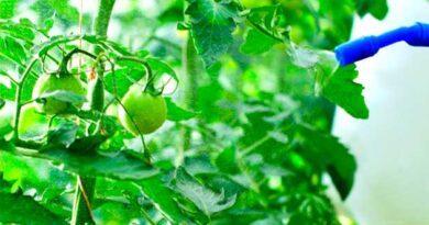 Обробка помідор борною кислотою