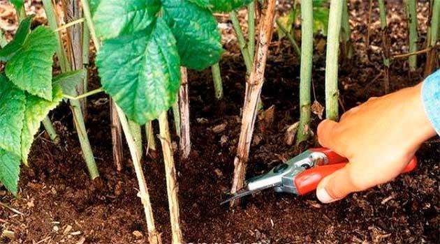 Час готувати малину до наступного урожаю