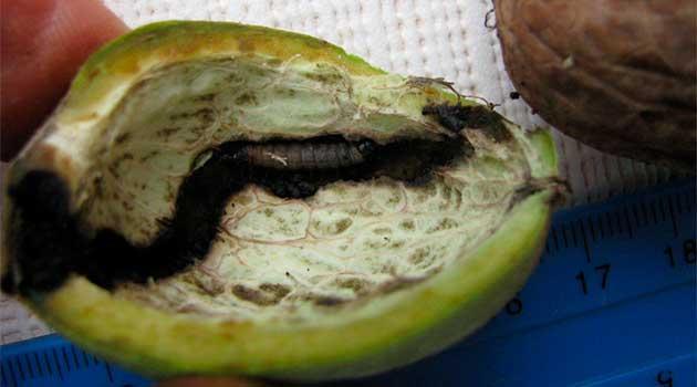 Причина осипання горіхів – плодожерка