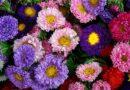 Коли сіяти холодостійкі однорічні квіти
